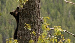 Black bear cub on a tree