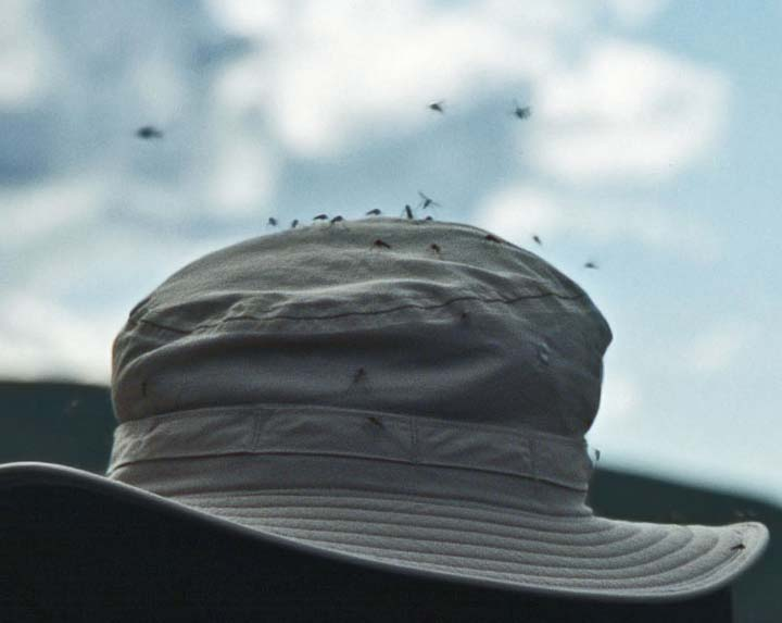Alaska Mosquitoes