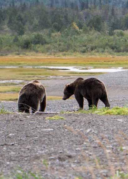 דובים חומים בשמורת קטמאי. צילם: בוריס פקלצ'יק