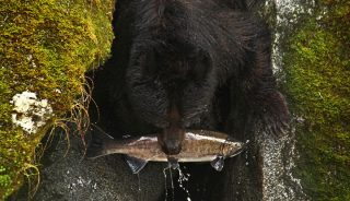Black bear fishing for salmon, Anan Creek Bear Observatory, Alaska
