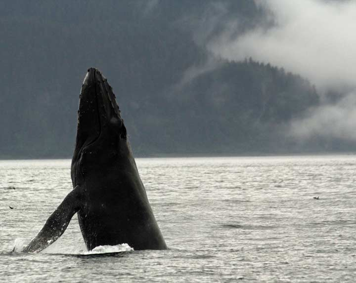 Breaching humpback whale, Point Adolphus, Alaska