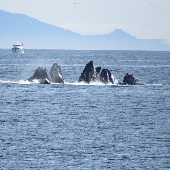 לוויתנים גדולי סנפיר, אלסקה. צילום: ניסים יולזרי