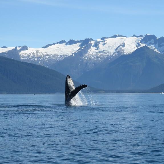 לוויתן גדול סנפיר, אלסקה. צילום: ניסים יולזרי