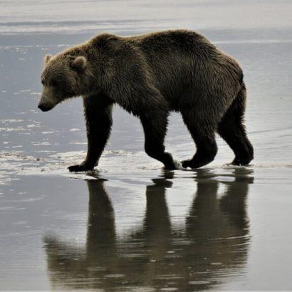 דוב גריזלי בשמורת קטמאי, אלסקה. צילום: ניסים יולזרי