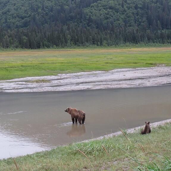 דובי גריזלי בשמורת קטמאי, אלסקה. צילום: ניסים יולזרי