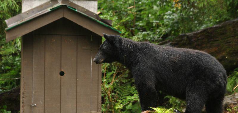 Black bear, Anan Creek Bear Observatory, Alaska