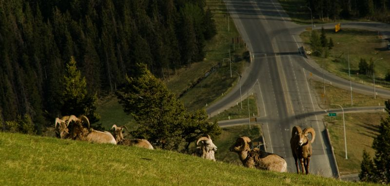 Bighorn sheep in Mt. Norquay, overlooking the town of Banff, AB