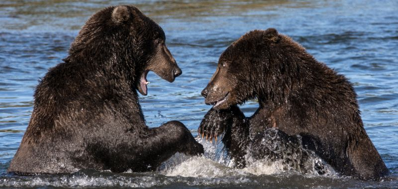 Brown bears fighting, Katmai National Park, Alaska