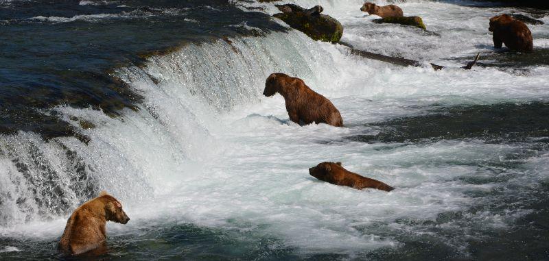 Brown bears fishing for salmon, Brooks Falls, Katmai National Park, Alaska
