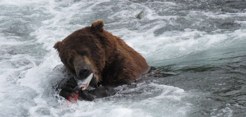 Brown bear fishing for salmon, Brooks Falls, Katmai National Park, Alaska
