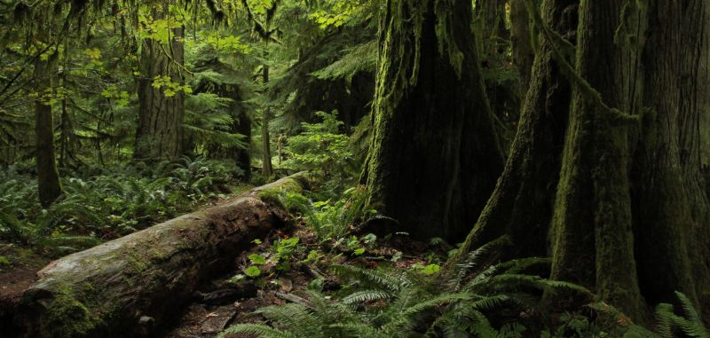 Cathedral Grove rainforest, on the way to Tofino, BC
