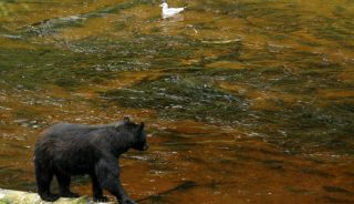 Black bear fishing for salmon