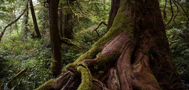 Rainforest near Tofino, BC