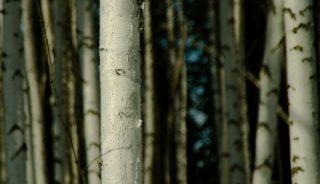 Paper birch forest, Fairbanks, Alaska
