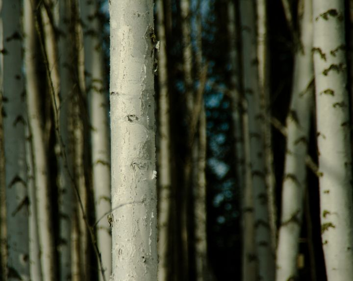 Paper birch forest, Fairbanks, Alaska