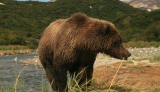 Coastal brown bear, Geographic Harbor, Katmai National Park, Alaska