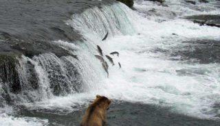 Brown bear fishing for salmon in Brooks Falls, Katmai National Park, Alaska