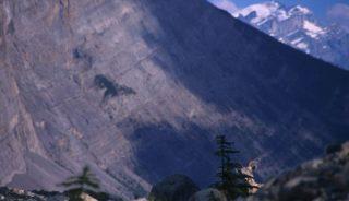 Bighorn sheep peeking behind a small tree, Canadian Rockies