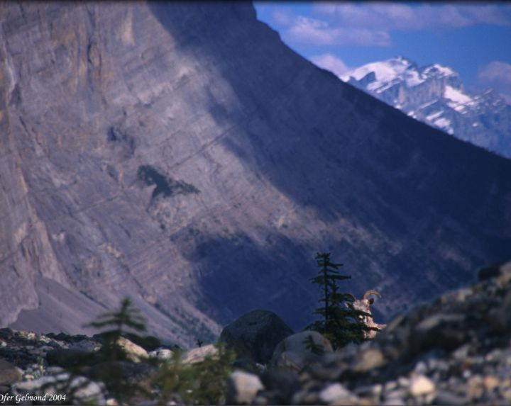 Bighorn sheep peeking behind a small tree, Canadian Rockies